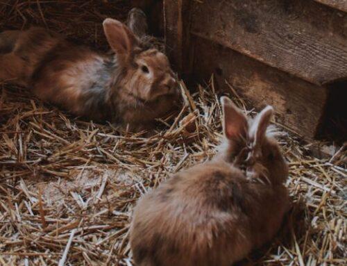 Kanin hø: Kongen af kaninens kostpyramide