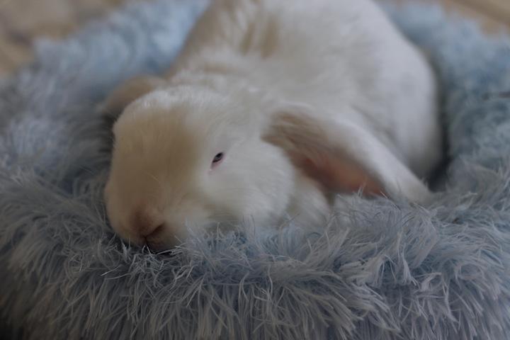 fritgående kanin