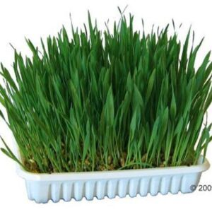 kanin græs