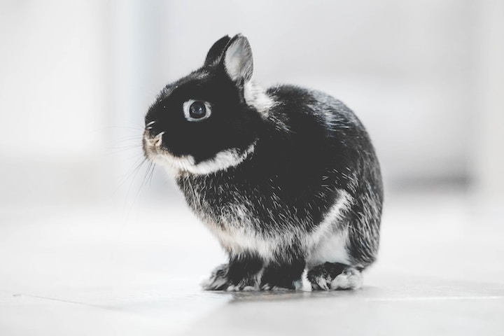 Kaninracer hermelin