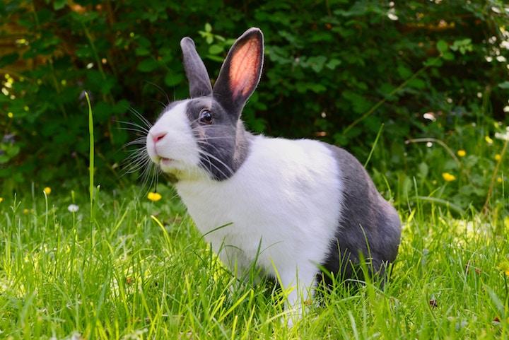 Kaninracer hollænder