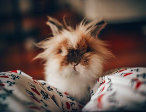Kanin og toilet: Lær din kanin at gå på toilet