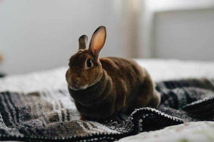 fritgående kanin i lejlighed