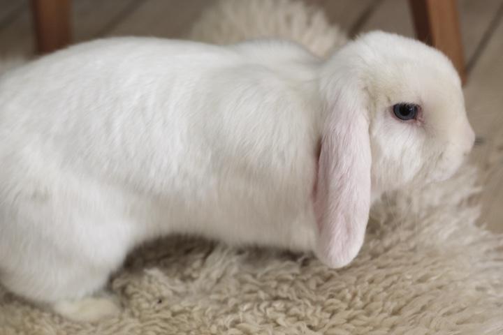 kaninracer dværgvædder