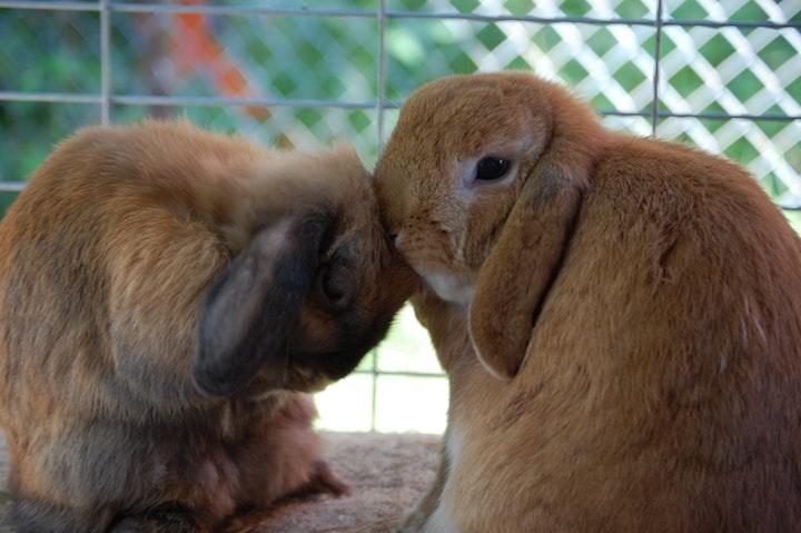 Bonding af kaniner