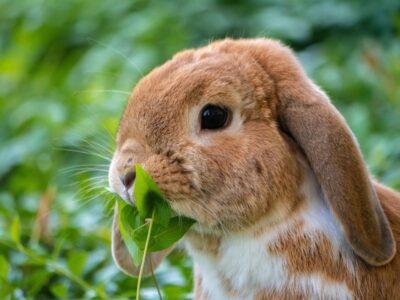Burgess Excel kanin