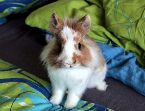 Kanin adfærd: Hvorfor stamper, bider, slikker min kanin?