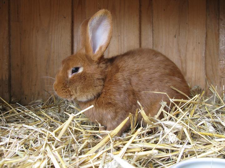 Hvad koster en kanin-