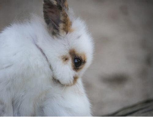 Kastrering af kanin