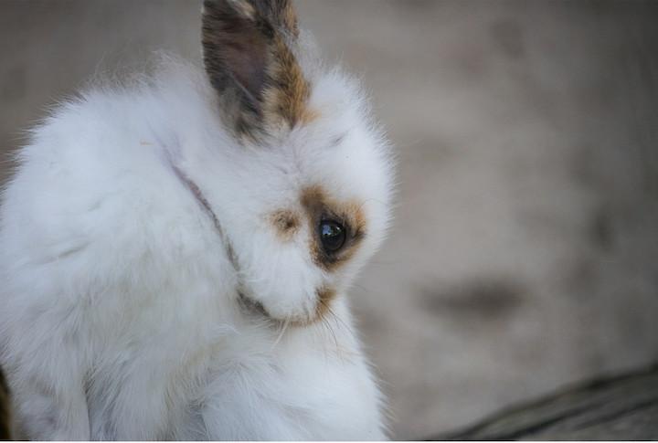 Kastrere en kanin
