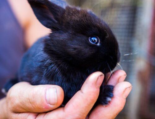 Hvor køber man en kanin? Støt et godt formål og adopter