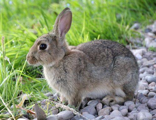 Hvordan løfter man en kanin?
