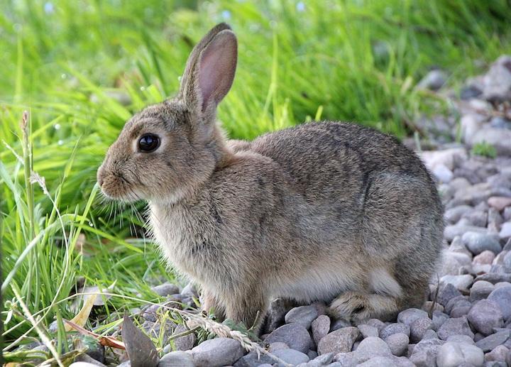 hvordan løfter man en kanin3