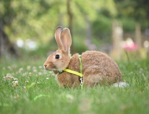 Hvilken sele skal du vælge til din kanin? Hvordan sætter man den på?