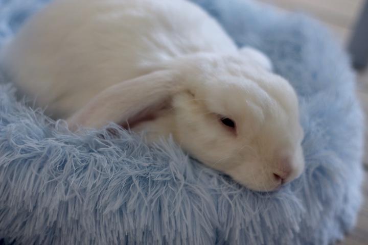kaninseng