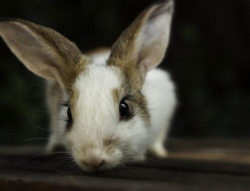 Hvad koster neutralisering af en kanin?