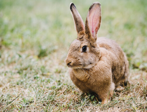 Kanin afføring